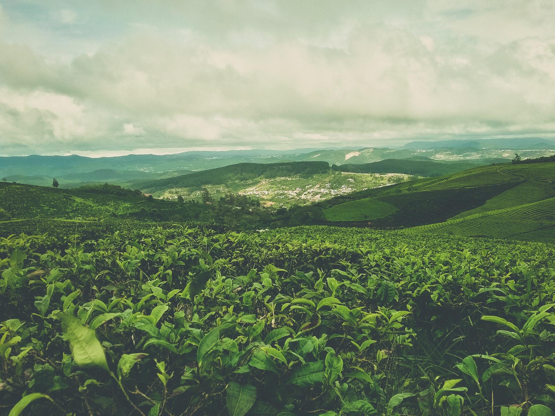 tè vietnam